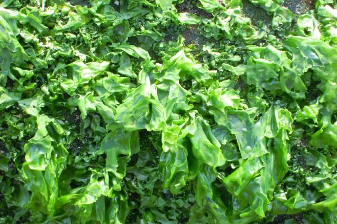 seaweed2-672981_1280